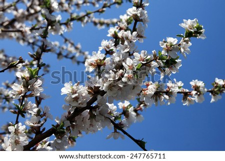 close-up of blooming apple tree branch against the blue sky - stock photo