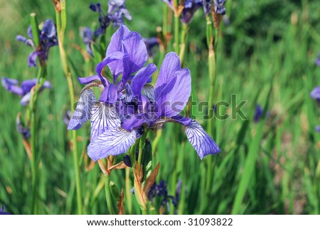 Close-up of blooming blue iris - stock photo