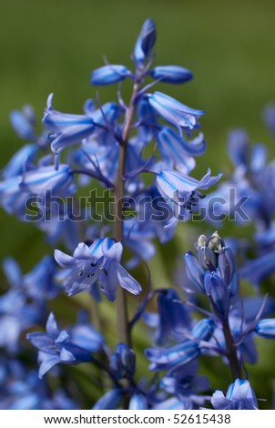Close-up of blooming Endymion 'Sky Blue' - stock photo