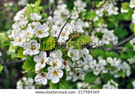 close-up of  blooming hawthorn tree branch - stock photo