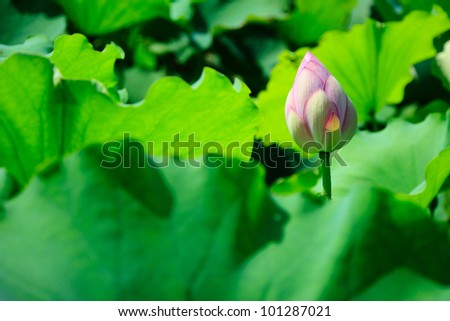 Close up of blooming lotus flower with leaves - stock photo