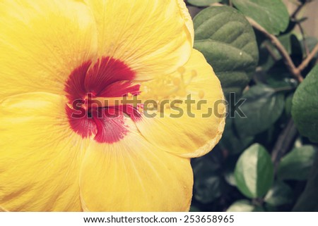 Close up of blooming of orange hibiscus flower - stock photo