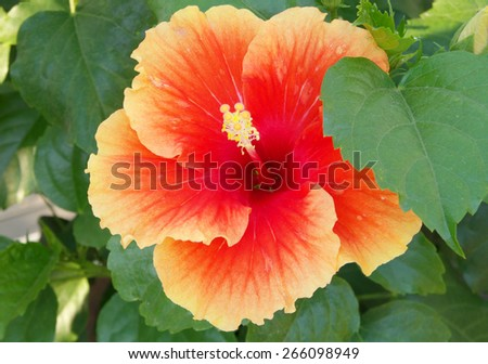Close up of blooming of red hibiscus flower - stock photo
