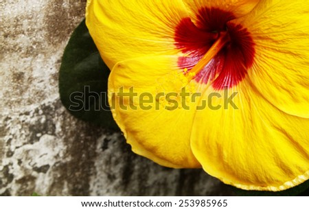 Close up of blooming of yellow hibiscus flower - stock photo