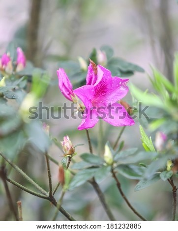 Close up of blooming pink Rhododendron (Azalea) after rain.  - stock photo