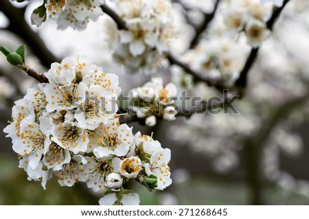 close-up of  blooming plum tree branch - stock photo