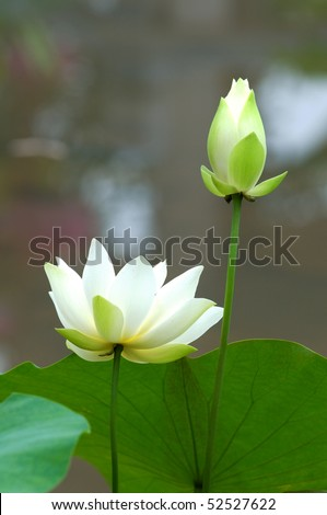 Close up of blooming white lotus flower - stock photo