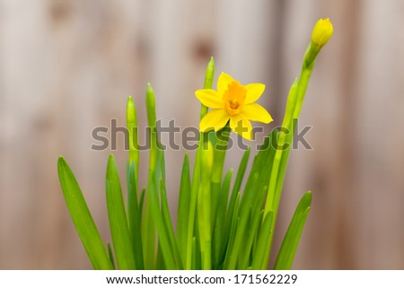 close-up of blooming yellow daffodil against wooden background - stock photo