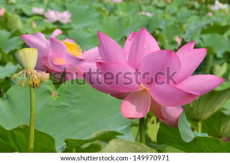 Close up of blossom lotus flower