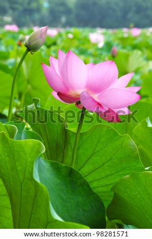 Close up of blossom pink lotus flowers
