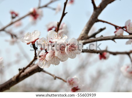 Close-up of blossoming peach branch. - stock photo