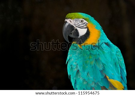 Close-up of Blue and Yellow Macaw at Black Background - stock photo