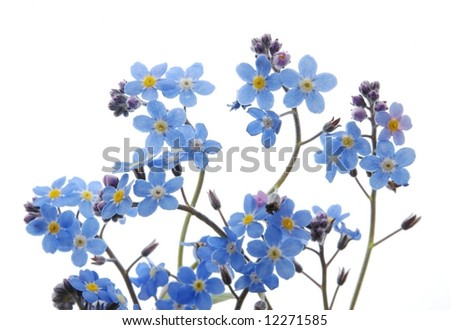 Close-up of blue Forget me not flower against white background - stock photo