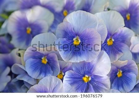 Close-up of  blue pansies (viola) - stock photo