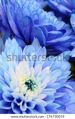 Close up of blue petals, pistils and white heart flower of aster for background or texture