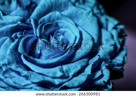 Close up of blue rose - stock photo