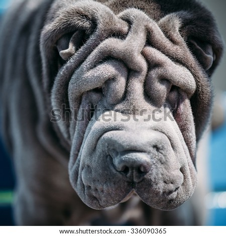 Close up of Blue Shar Pei Dog. The Shar Pei, or Chinese Shar-Pei, is a breed of dog known for its distinctive features of deep wrinkles. - stock photo