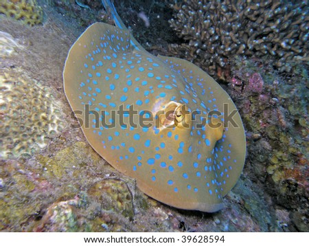 Close up of blue-spotted stingray - stock photo
