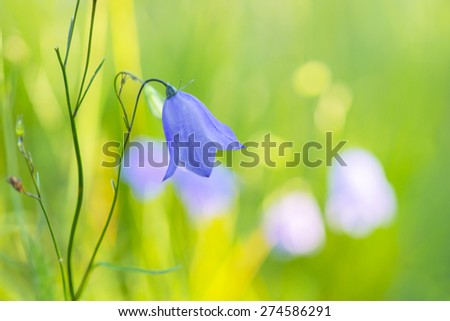 Close up of Bluebell bellflower, Bluebell-of-Scotland, Harebell,  or Witches' thimble, latin name Campanula rotundifolia, on bright green and yellow background - stock photo