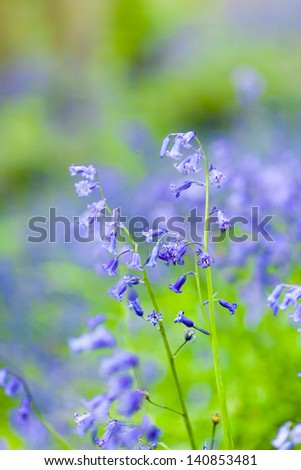 Close up of bluebells