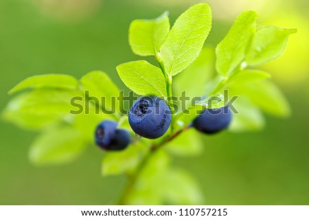 Close-up of blueberries in a forest - stock photo