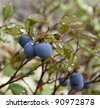 Close-up of blueberries in the woods after a rain. - stock photo