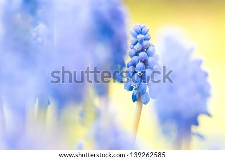 close-up of blurred grape hyacinth - stock photo