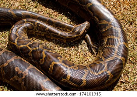 Close up of Boa Constrictor snake.  - stock photo