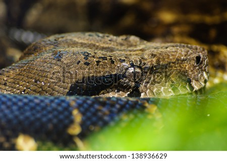 close up of boa costrictor snake - stock photo