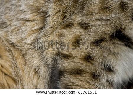 Close up of Bobcat fur - stock photo