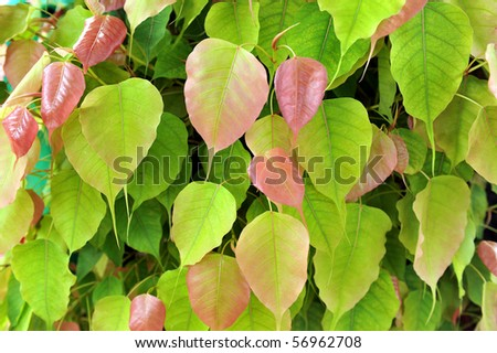 close up of bodh leaf,tree under which the Buddha gained enlightenment. - stock photo