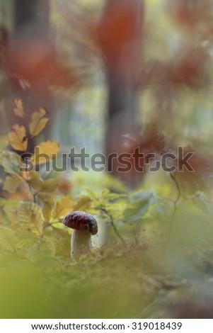 Close up of Boletus Edulis (penny bun) mushroom - stock photo