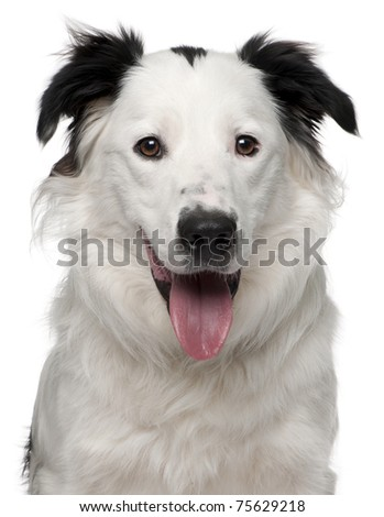 Close-up of Border Collie, 10 months old, in front of white background - stock photo