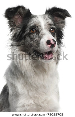 Close-up of Border Collie, 11 months old, in front of white background - stock photo
