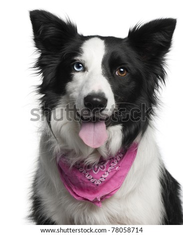 Close-up of Border Collie wearing pink handkerchief, 2 years old, in front of white background - stock photo