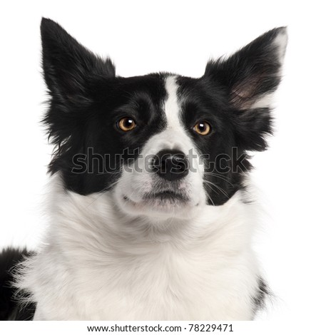 Close-up of Border Collie, 3 years old, in front of white background - stock photo