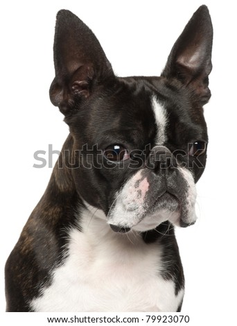 Close-up of Boston Terrier, 1 year old, in front of white background - stock photo