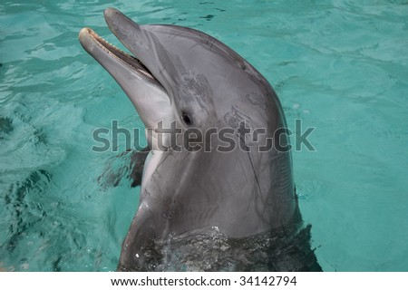 Close up of Bottlenose Dolphin (tursiops truncatus)