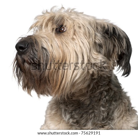 Close-up of Bouvier des Flandres, 2 years old, in front of white background - stock photo