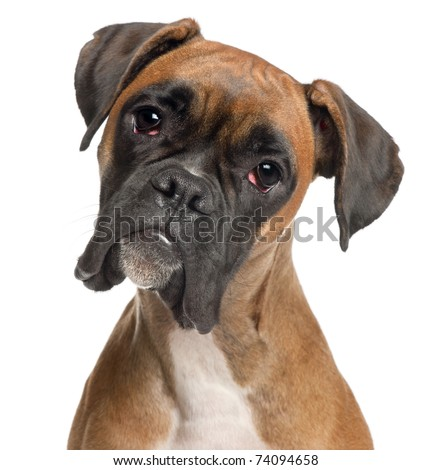 Close-up of Boxer, 12 months old, in front of white background - stock photo