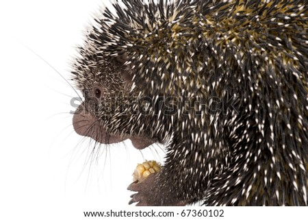 Close-up of Brazilian Porcupine, Coendou prehensilis, holding corn in front of white background