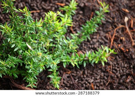 Close up of bright green Grevillea leaves against brown mulch - stock photo