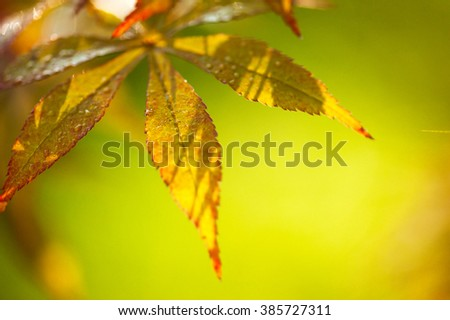 Close-up of bright orange autumn leaves, selective focus. - stock photo