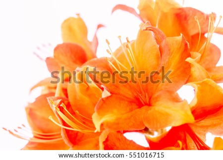 Close -up of bright orange azalea outside