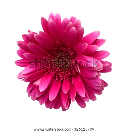 Close-up of bright pink Gerber Daisy with dew, isolated on white.  - stock photo