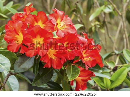Close up of bright Red yellow Rhododendron flower in spring time (Ericaceae) - stock photo