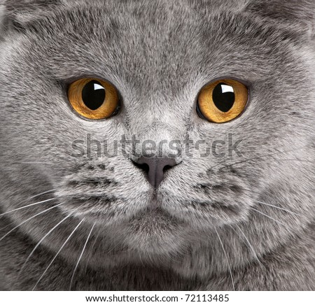 Close-up of British Shorthair cat, 2 years old - stock photo