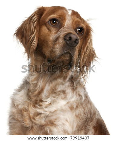 Close-up of Brittany dog, 3 years old, in front of white background - stock photo