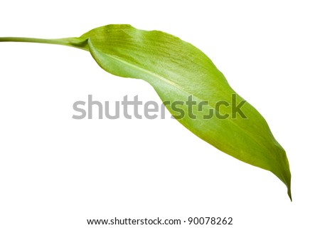Close-up of broad-leaved garlic leaf isolated on white
