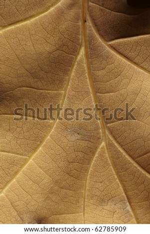 close-up of brown autumnal oak leaf - stock photo